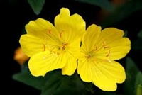 Evening Primrose Seeds - 1 packet