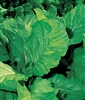 Mustard Florida Broadleaf Seed - 1 Packet