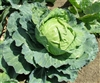 Cabbage Golden Acre Seed Heirloom - 1 Packet