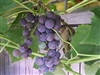Grape Vine - 1 Gallon