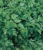 Parsley Dark Green Italian Seed - 1 Packet