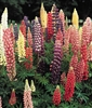 Lupines Russell Perennial Hybrid Mixed Colors Seed Heirloom- 1 Packet