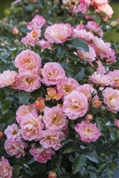 Peach Drift Roses - 2 Gallon