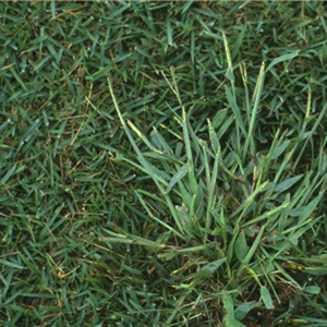 Quick-N-Big Crabgrass Seed - 10 Lbs.
