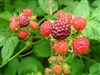 Raspberry Bush - 1 Gallon