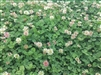 Renovation White Clover Seed - 10 Lbs.