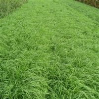 Tiffany Teff Grass Seed - 50 Lbs.