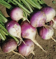 Turnip Seed Purple Top White Globe - 50 Lbs.