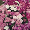 Heirloom Umbellata Candytuft