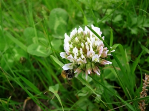 White Dutch Clover Seed Coated & Inoculated 50 Lb