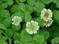 White Dutch Clover Seed - 1/4 Lb.