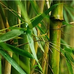 Bamboo Extract - Water Based