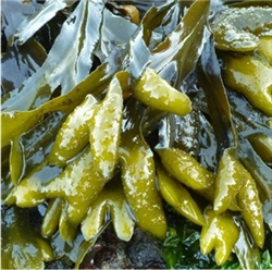 Bladderwrack Extract - Water Based