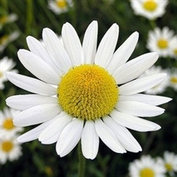 Chamomile Flower Extract - Water Based