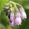 Comfrey Extract - Water Based