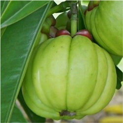 Garcinia Cambogia Extract Powder