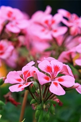 Geranium - Rose Essential Oil