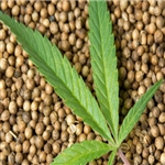 Hemp Seed Extract - Water Based