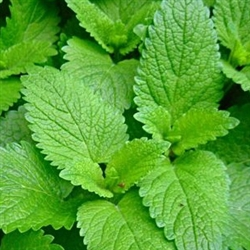 Lemon Balm Leaf CS