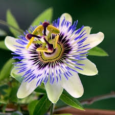 Passion Flower Extract - Water Based