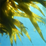 Sea Kelp Extract - Water Based