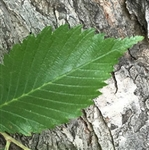 Slippery Elm Bark Extract - Water Based