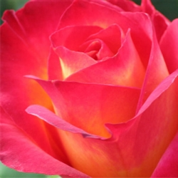 True Rose Aroma - Oil Based