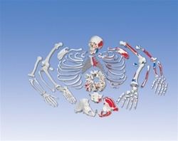 Painted Disarticulated Skeleton Full
