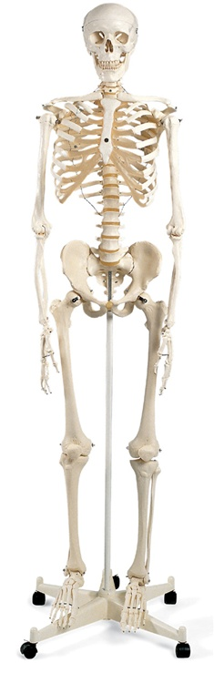 Human Skeleton Model Stan - Skeleton Models and Skeleton Charts