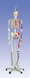 Muscle Skeleton Model Max, on hanging stand