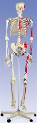 Muscle Skeleton Model Max, on 5 feet roller stand