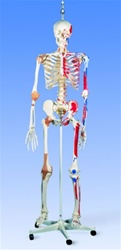 Super Skeleton Model Sam, on hanging stand