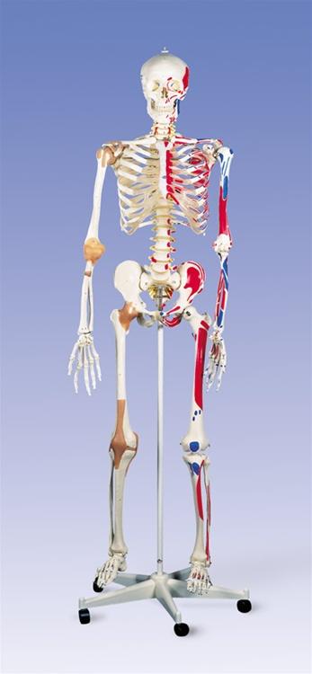 Super Skeleton Model Sam On 5 Feet Roller Stand Anatomy Models