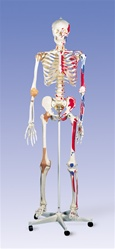 Super Skeleton Model Sam, on 5 feet roller stand