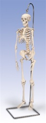"Mini Skeleton Model ""Shorty"", on hanging stand"