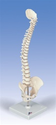 Mini Vertebral Column Spine Model, elastic (stand included)