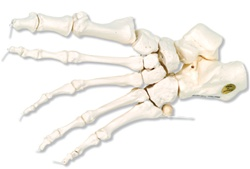 Loose Foot Skeleton