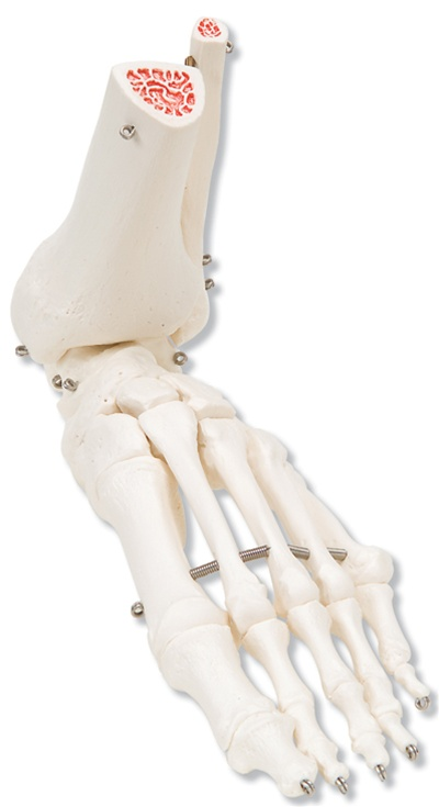 Foot and Ankle Skeleton - Anatomical Models & Anatomical Charts