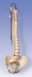 Classic Flexible Spine with female pelvis