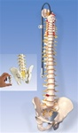 Deluxe Flexible Spine Model with brain stem and opened sacrum