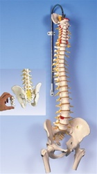 Deluxe Flexible Spine Model with brain stem, opened sacrum and femur heads