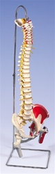 Deluxe Flexible Spine with femur heads and painted muscles