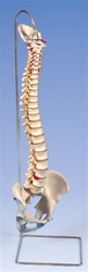 Highly Flexible Spine Model - Spinal Model - Vertebral Column
