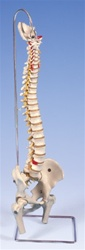 Lifetime Flexible Spine Model with femur heads - Spinal Model - Vertebral Column