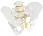 Male Pelvis model, pelvic skeleton model