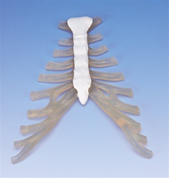 Sternum with rib cartilage