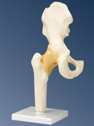 Functional Hip Joint Model