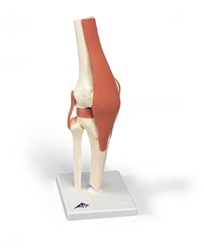 Deluxe Functional Knee Joint Model