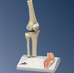 Mini Knee Joint with cross section
