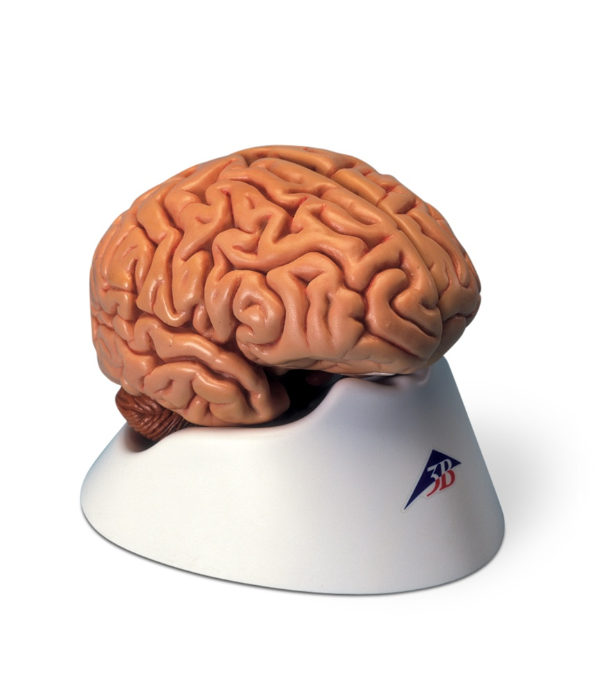 Classic Brain Model, 5 part - Anatomy Models and Anatomical Charts